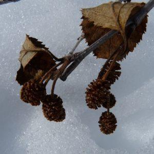 Strobiles d'un aulne sur le sentier de la Combe Enverse