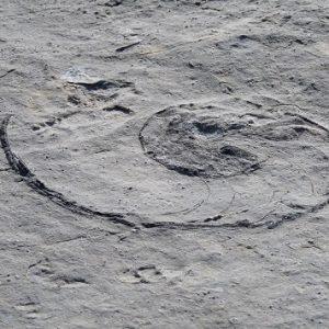"""Désert de Platé : fossile de """"nautile"""" (mollusques céphalopodes)"""